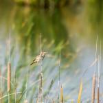 birding_saucedilla_galeria (10)